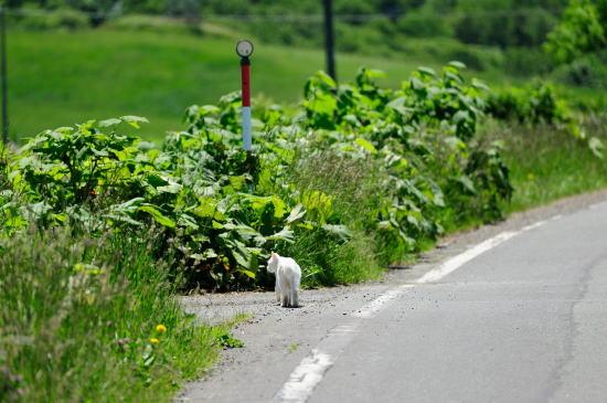 白い猫のお散歩