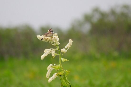 コバイケイソウの花とホオアカ