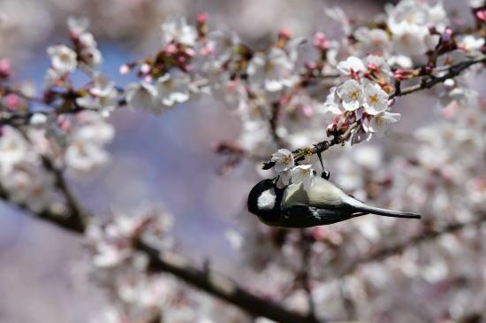 桜とシジュウカラ