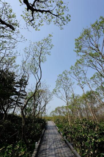 サロベツ湿原の芽吹き