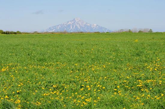 セイヨウタンポポの丘