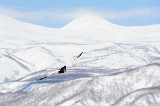 オオワシと白き知床の山々