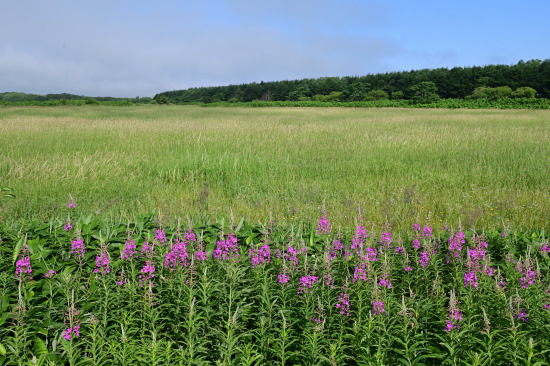 ヤナギラン咲く牧草地