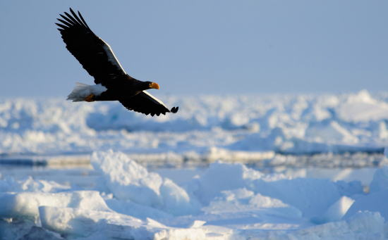流氷原をゆくオオワシ