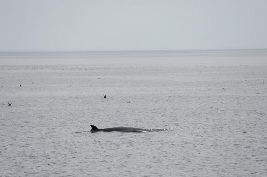 ミンククジラ