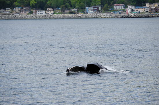 ザトウクジラの捕食