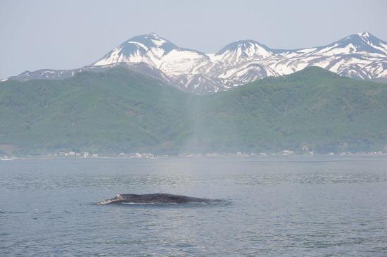 羅臼岳とザトウクジラ