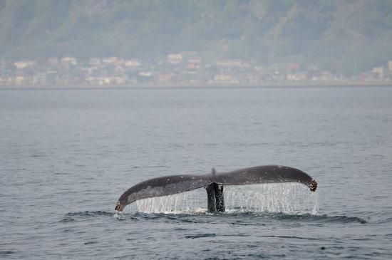 知床の山々とザトウクジラ