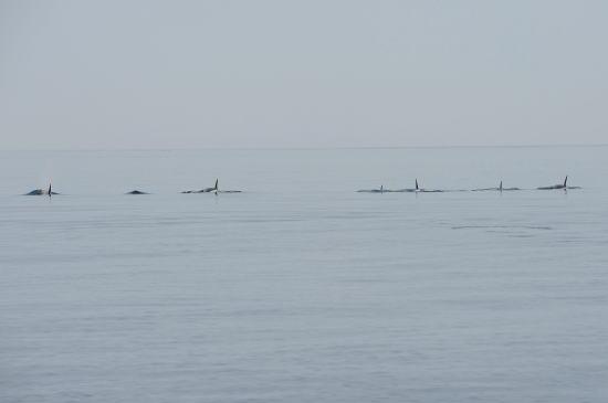 シャチの群れ