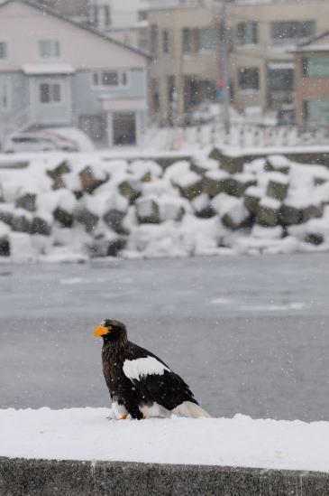 雪降る羅臼の街とオオワシ