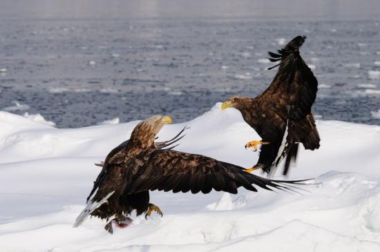 流氷上の闘い