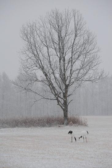 雪積るカシワの木