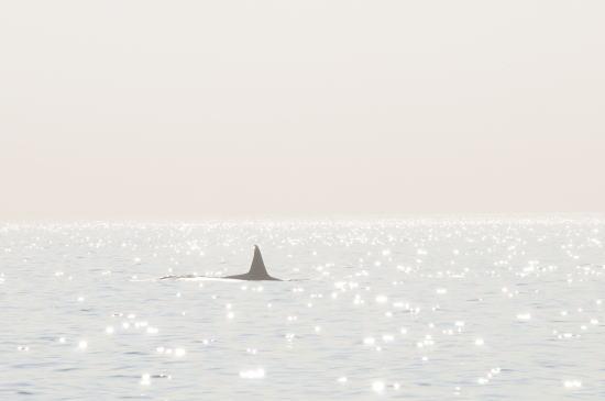輝く海をゆくシャチ