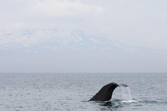 知床の山々とマッコウクジラ