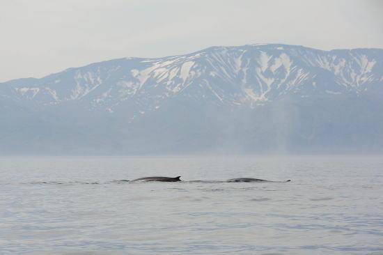 ナガスクジラ