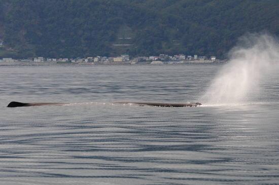 羅臼の町とマッコウクジラ