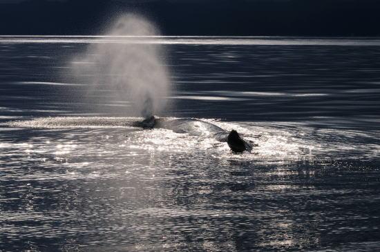 光の中、噴気を上げるマッコウクジラ