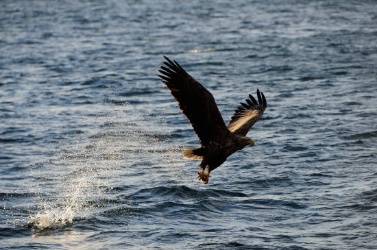 海の狩人~オジロワシ