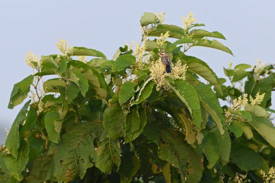 ツメナガセキレイの幼鳥