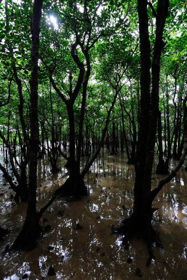 宮良川のマングローブ(ヒルギ)林