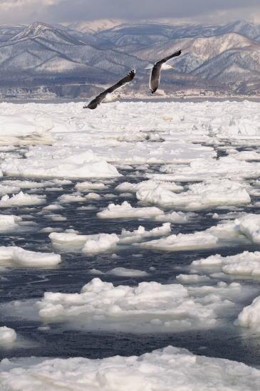ゴメと流氷