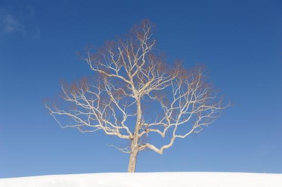 雪映えの木