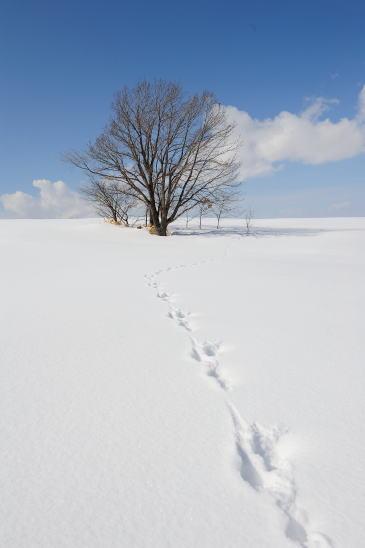 ウサギの足跡(カシワの木)