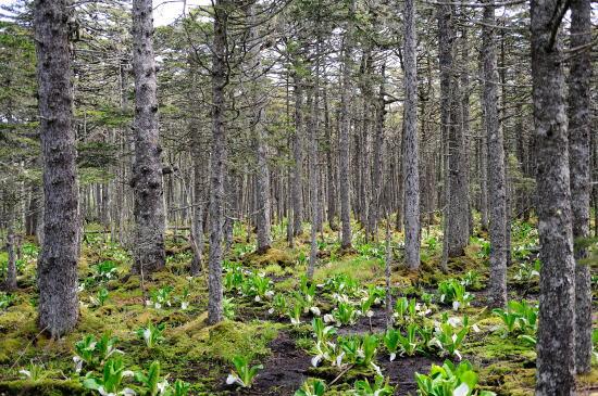 アカエゾマツの森