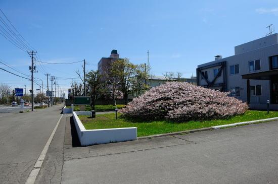釧路地裁根室支部のチシマザクラ