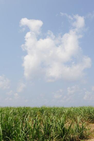 雲とさとうきび畑