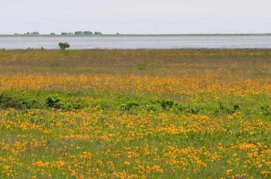 エゾカンゾウの花に埋まる野付半島