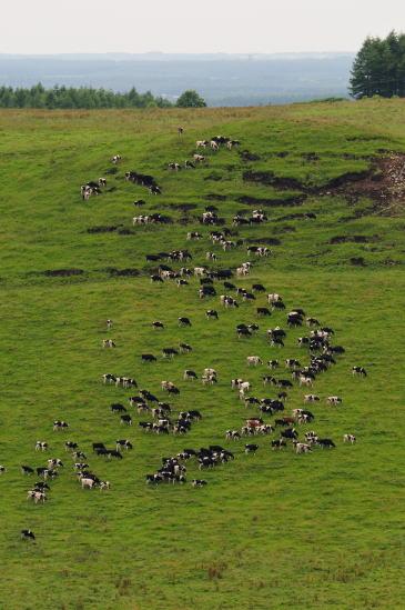 牛が食む丘