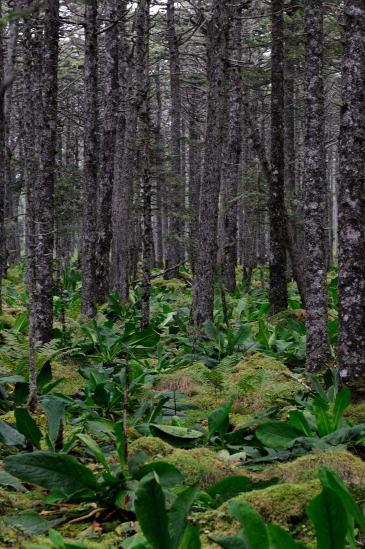 カエゾマツの森