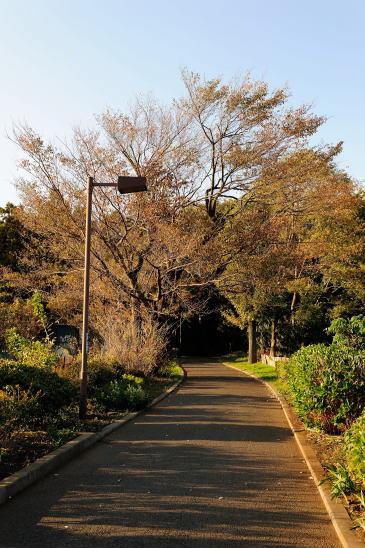 森のいりぐち~ヤマザクラの紅葉