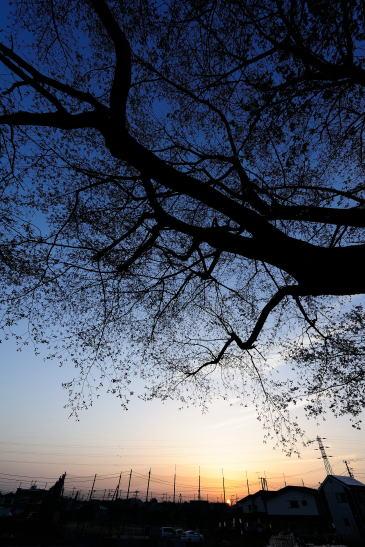 日の出~ヤマザクラの下で