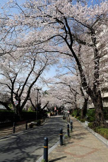 東林さくら通りの桜並木