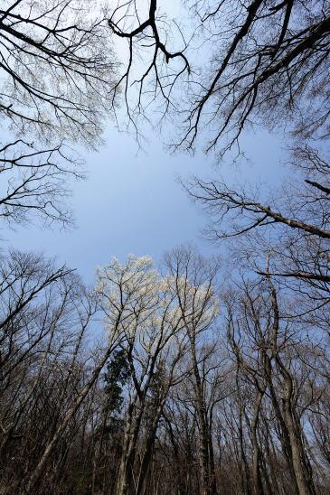 コブシ咲く森
