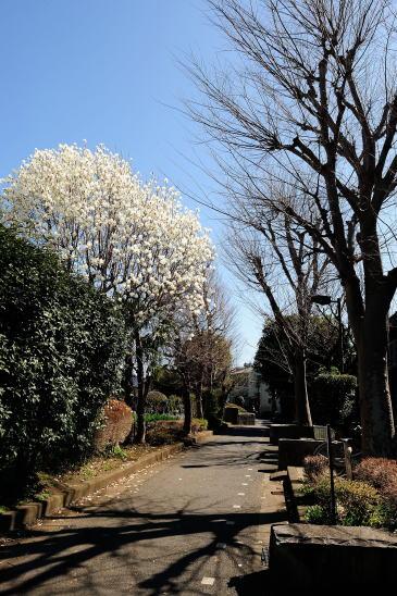 ハクモクレンの咲く相模緑道緑地