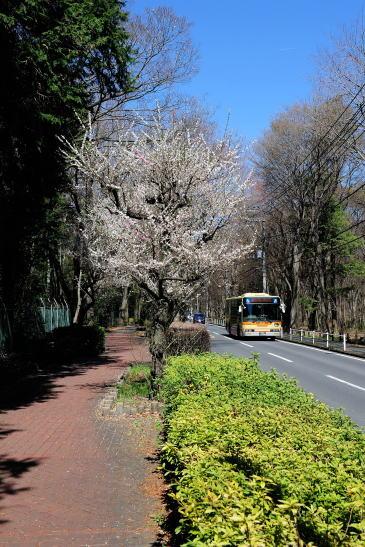 梅の花咲くバス通り
