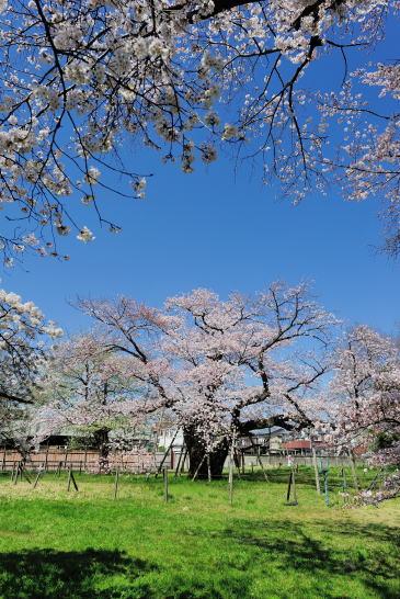 百年桜(相模女子大校内)