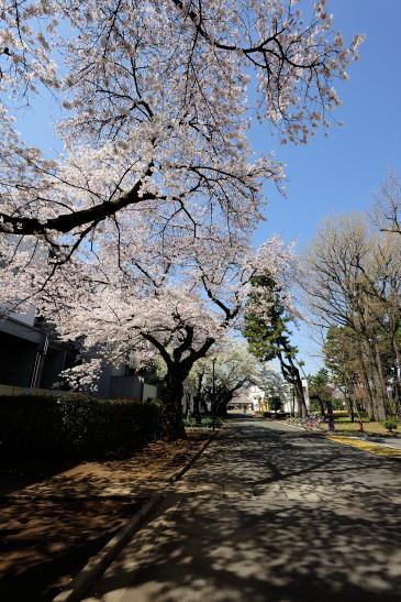 相模女子大校内の桜