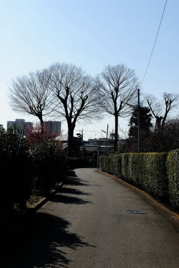 ケヤキの大木