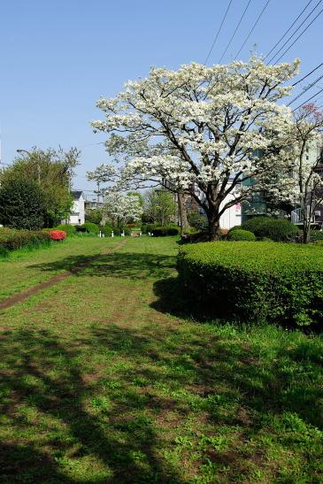 ハナミズキの咲く緑道