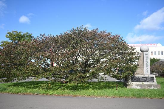 根室市役所前のチシマザクラの紅葉