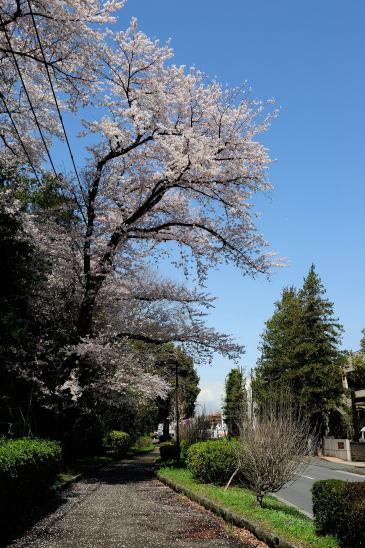 桜咲く相模緑道緑地