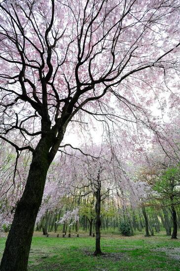 枝垂れ桜~木もれびの森にて