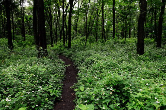 ドクダミの咲く道