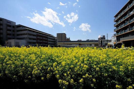 相模大野の菜の花畑