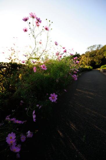 コスモス咲く夕