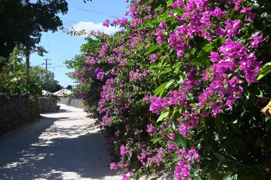 ブーゲンビリアの咲く道